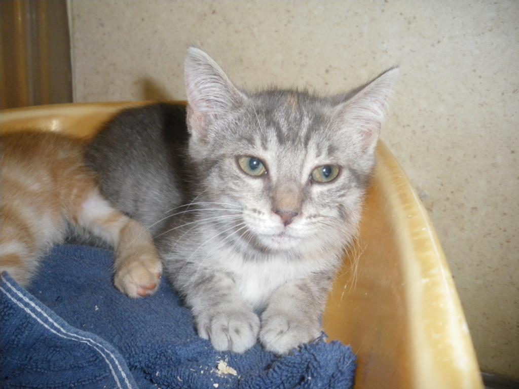 GABRIELA (chaton femelle tigrée) Imgp0022