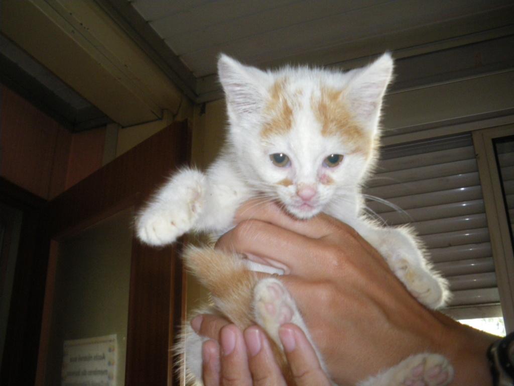 HARRY ( chaton mâle roux et blanc) Imgp0025