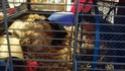 Laver la cage des rats, odeur en 1 journée ?! o-o 20191013