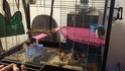 Laver la cage des rats, odeur en 1 journée ?! o-o 20191014