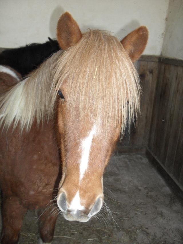 INDIANA - ONC poney typée shetland présumée née en 2000 - adoptée en juillet 2013 Sam_1111