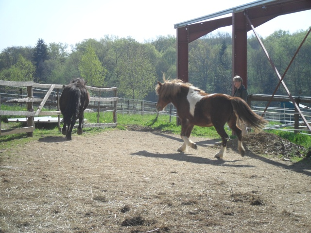 INDIANA - ONC poney typée shetland présumée née en 2000 - adoptée en juillet 2013 Sam_1112