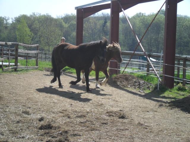 PRUNELLE - ONC poney typée shetland présumée née en 2000 - adoptée en août 2013 par Céline Sam_1114