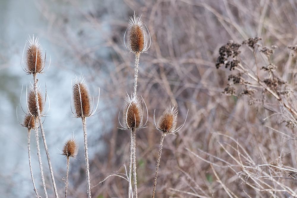 [Flore] Les chardons de la vallée de l'Orge Les_ch10