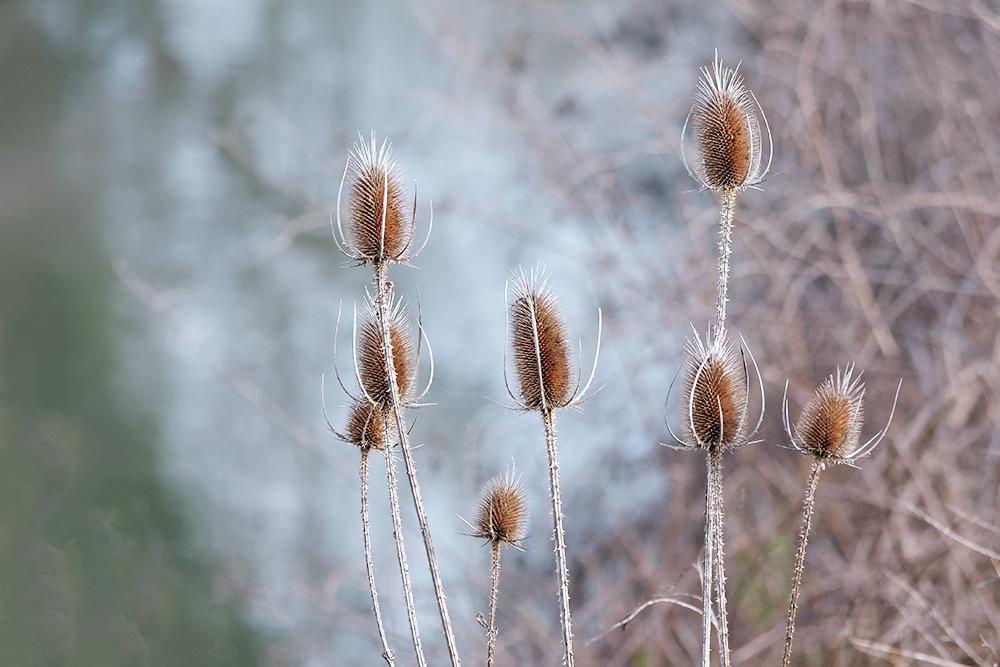 [Flore] Les chardons de la vallée de l'Orge 2 Les_ch11