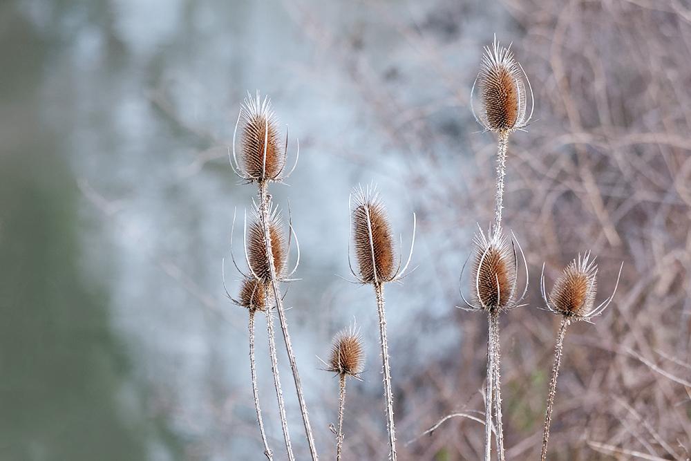 [Flore] Les chardons de la vallée de l'Orge 2 P1060510