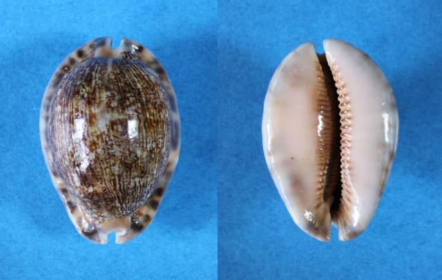 Mauritia arabica asiatica f. gibba  - Cohen, 1949  Panora10