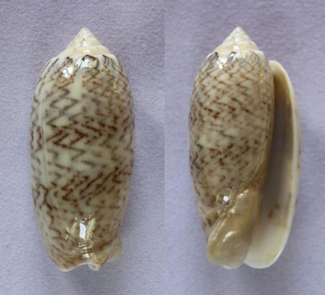 Americoliva bollingi goajira (Petuch & Sargent, 1986) - Worms = OLiva nivosa bollingi (Clench, 1934) Panora13