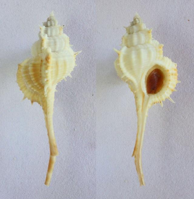 Vokesimurex mindanaoensis - (G. B. Sowerby II, 1841)  Panora24