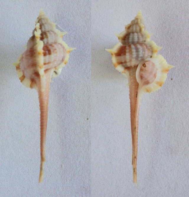 Vokesimurex multiplicatus bantamensis - (Martin, 1895) Panora25