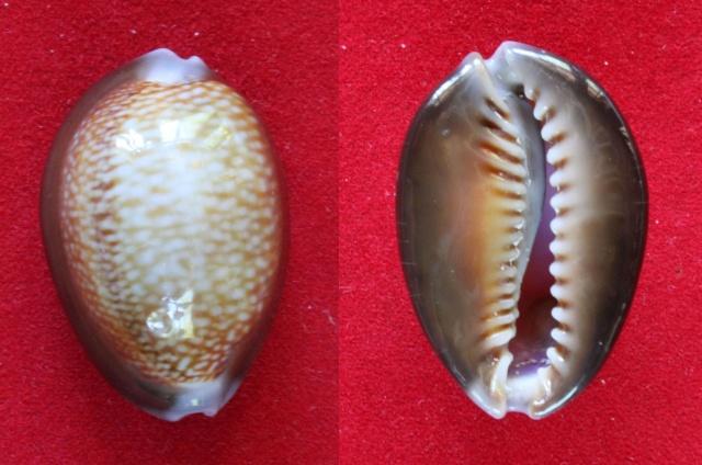 Monetaria caputdraconis f. poppei  -  (Martin, 1989) Panora37