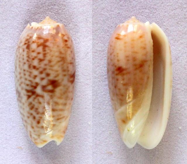 Viduoliva indomalaysica (Petuch et Sargent, 1986) Panora43