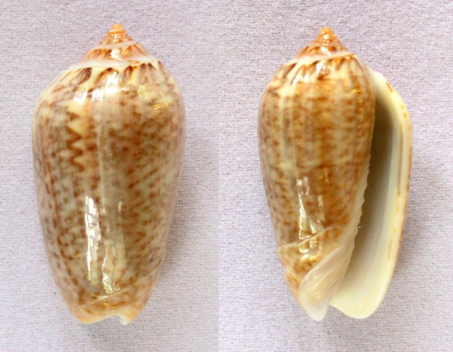 Americoliva venulata (Lamarck, 1811) Panora47