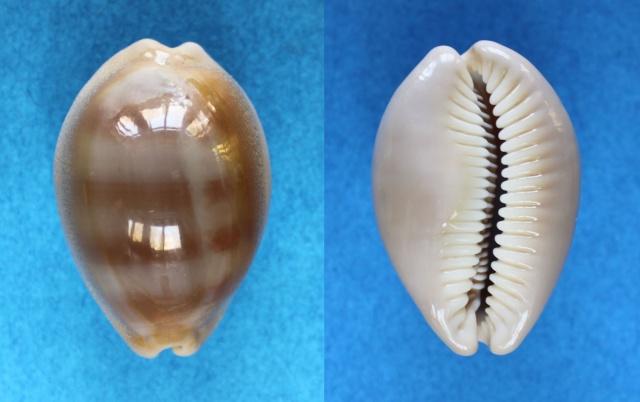 Lyncina sulcidentata - (Gray, 1824) Panora50