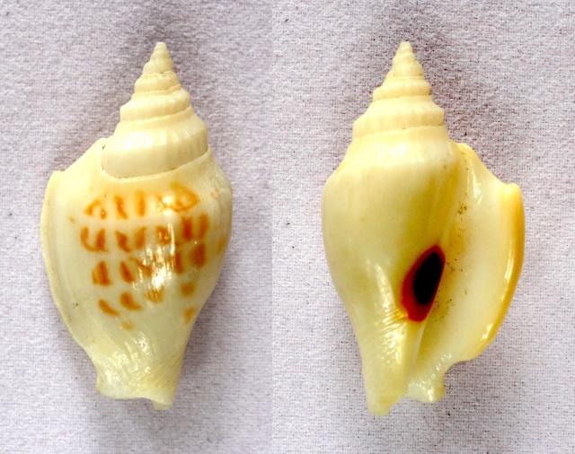 Dolomena variabilis - (Swainson, 1820) Panora56