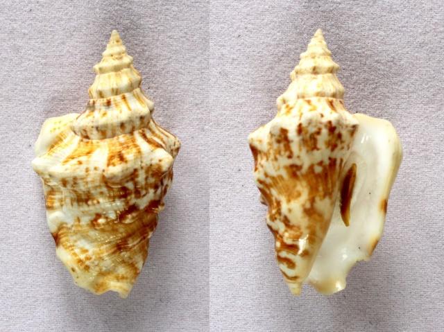 Strombidae Persististrombus granulatus - (Swainson, 1822) Panora57