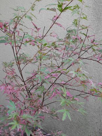 Acer palmatum 'Dissectum' !!! - Page 2 Copie_20