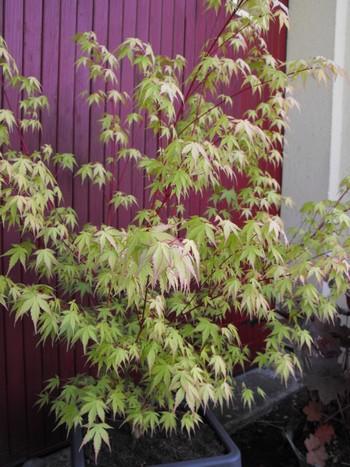 Acer palmatum 'Dissectum' !!! - Page 2 Copie_21
