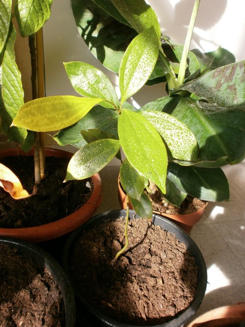 Cinnamomum verum   P4290016