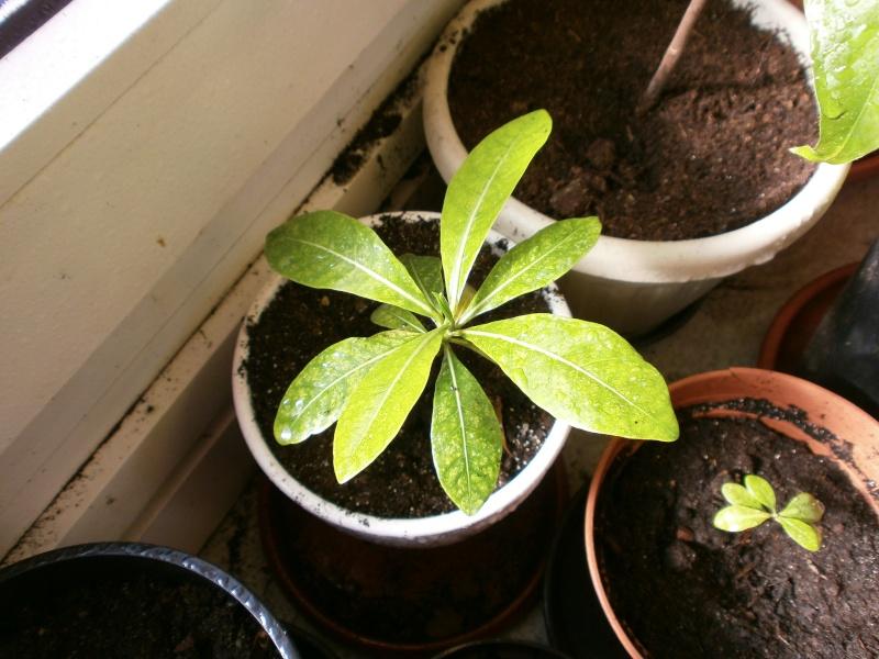 gardenia tahitensis - Page 9 P4290028