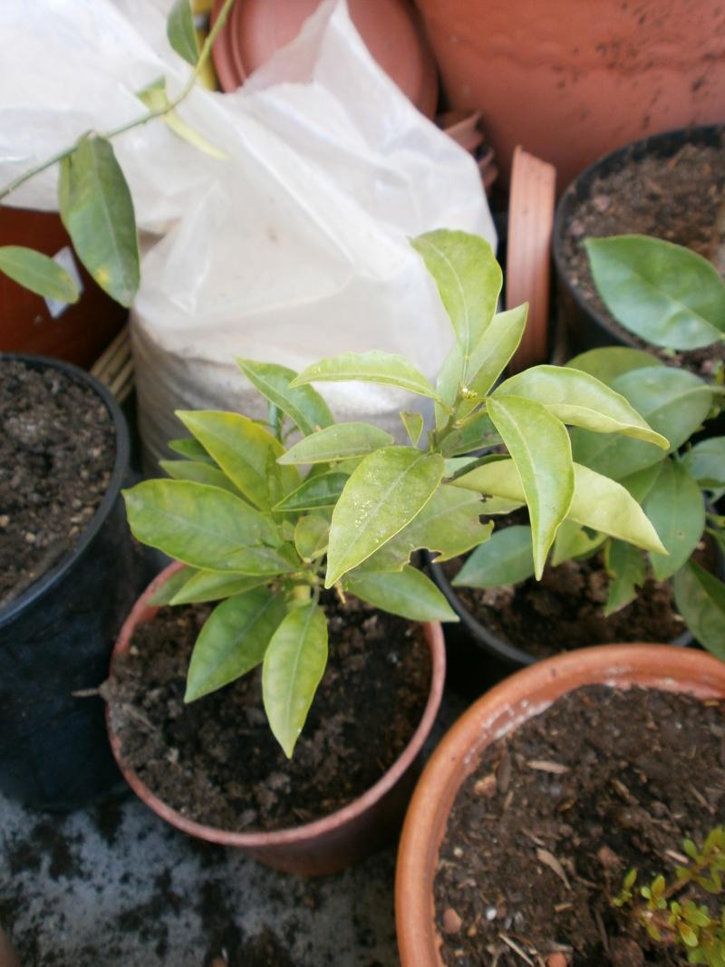 quelques un de mes agrumes P4290029
