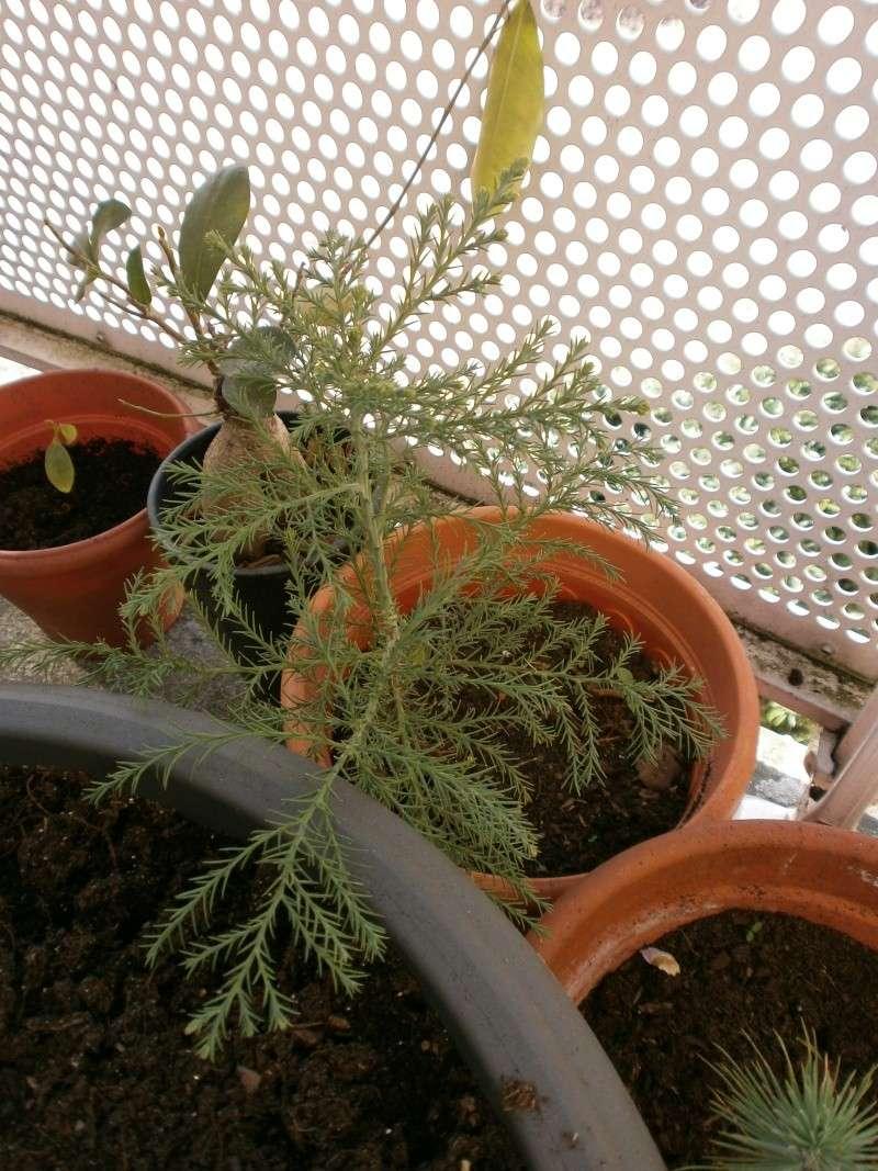[Taxodiaceae] Sequoiadendron giganteum - Page 2 P4290035