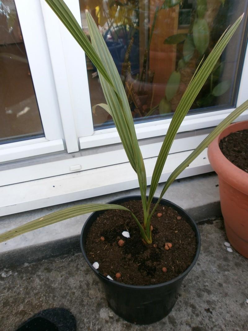 essais de palmier datier - Page 4 P4290037