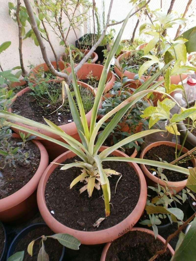 [bromeliaceae]  ananas - Page 2 P4290038