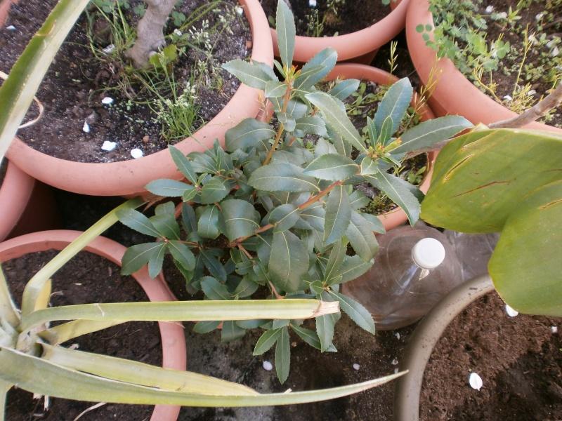 [ericaceae] arbutus unedo P4290120