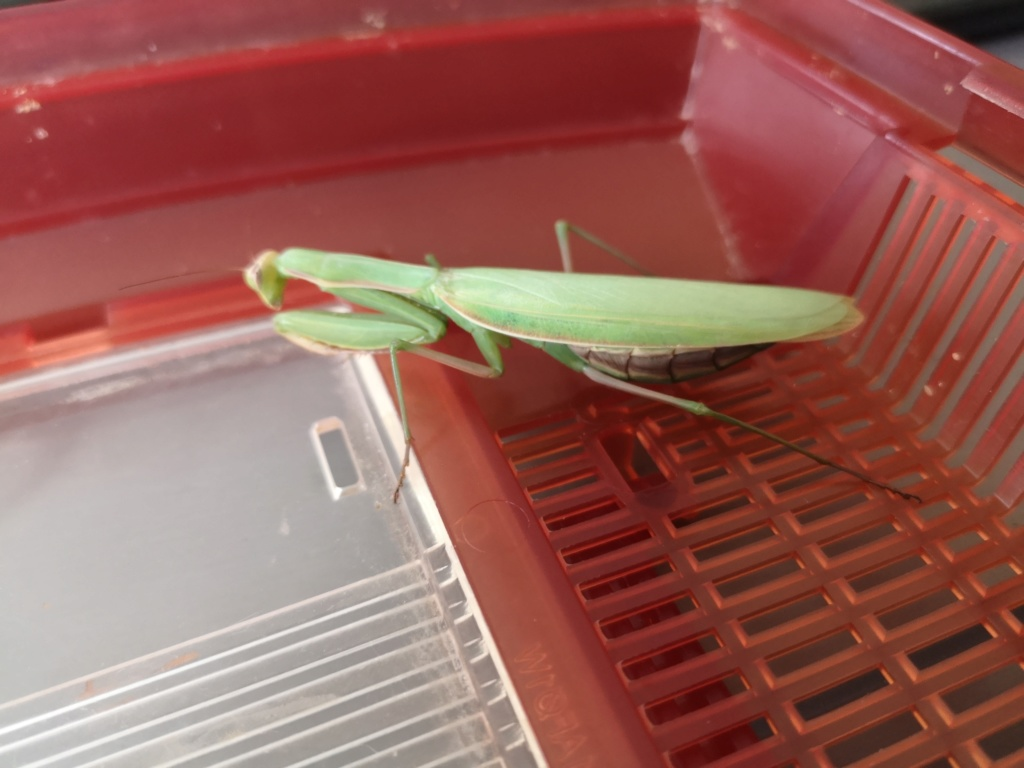 [Mantis religiosa] mante religieuse mâle ou femelle Img_2010