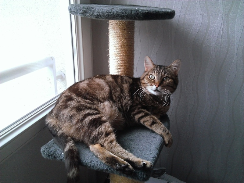 Basil,matou tigré environ 8ans, FeLV+, Adorable ++++ (54) Basil_11