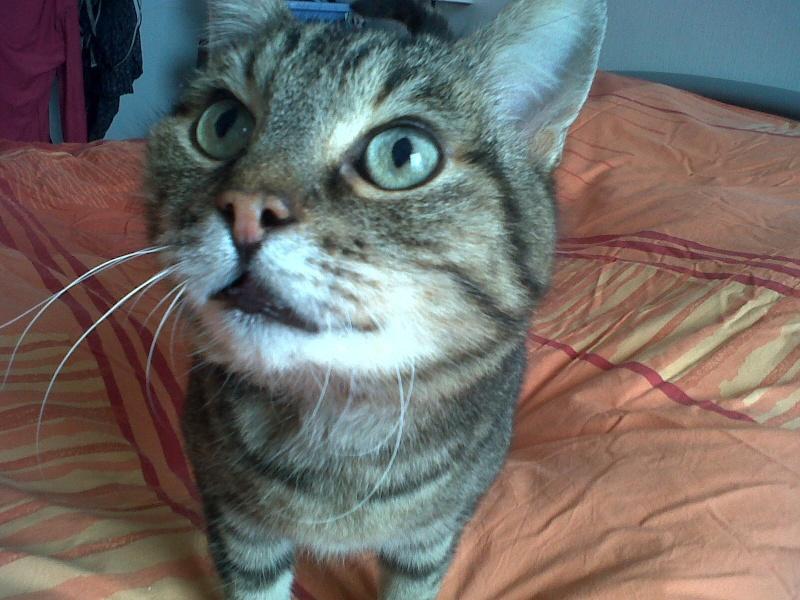 Basil,matou tigré environ 8ans, FeLV+, Adorable ++++ (54) Basil_13
