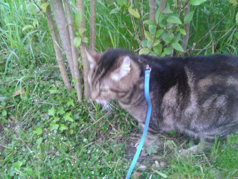 Basil,matou tigré environ 8ans, FeLV+, Adorable ++++ (54) Basil_14