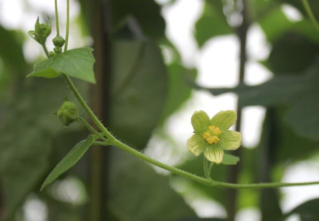 Bryonia cretica subsp. dioica - bryone dioïque, navet du diable Bryone11