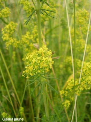 Galium verum - gaillet jaune Gaille12