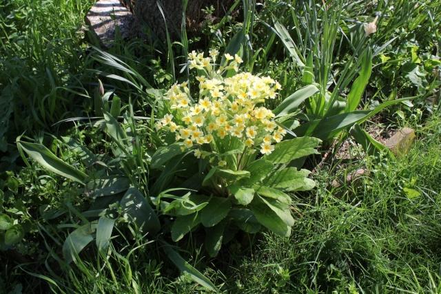 Primula elatior - primevère des bois Img_2810