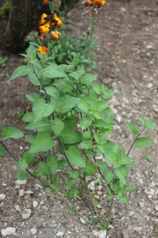 Solanum dulcamara - [identification] Img_3412