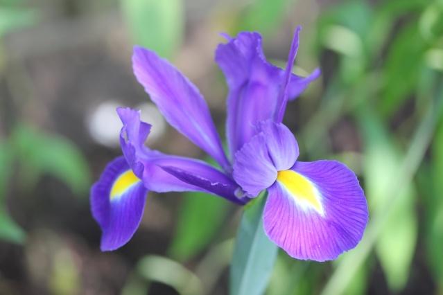Floraisons de nos Iris barbus 2013 - Page 7 Img_4510