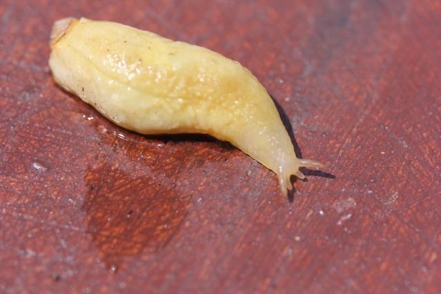 Testacella haliotidea - testacelle blanche La_tes13
