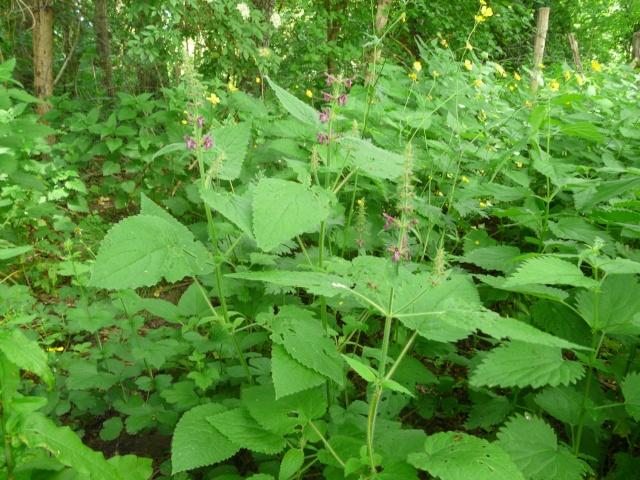 Stachys sylvatica - épiaire des bois P1030910
