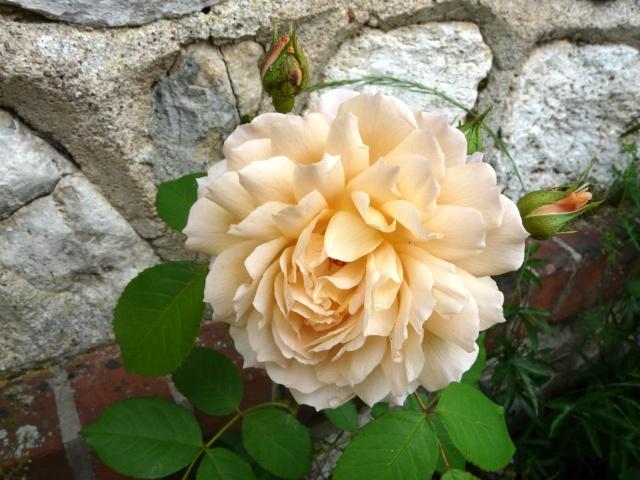 tous ces rosiers que l'on aime - floraisons P1040010