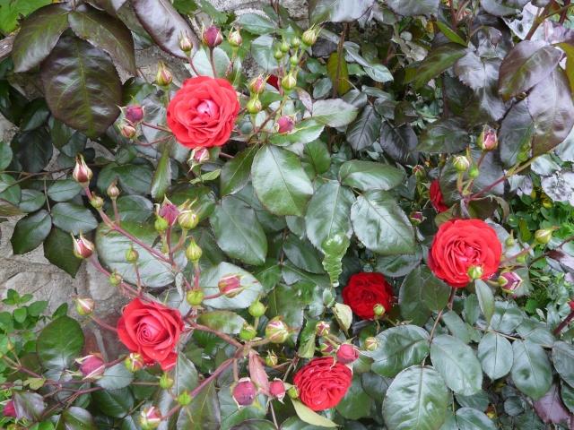 tous ces rosiers que l'on aime - floraisons P1040011