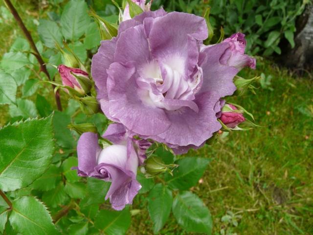tous ces rosiers que l'on aime - floraisons P1040012