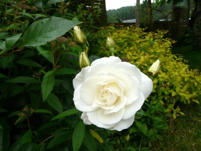 tous ces rosiers que l'on aime - floraisons P1040013