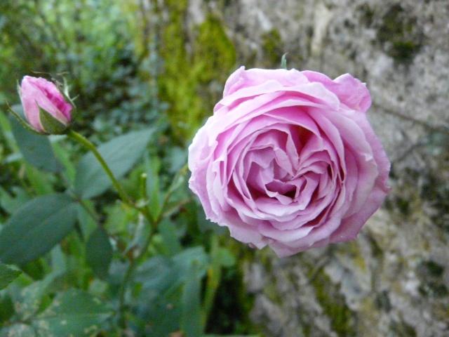 tous ces rosiers que l'on aime - floraisons P1040014