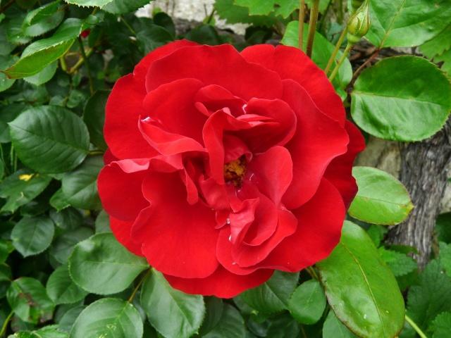 tous ces rosiers que l'on aime - floraisons P1040015