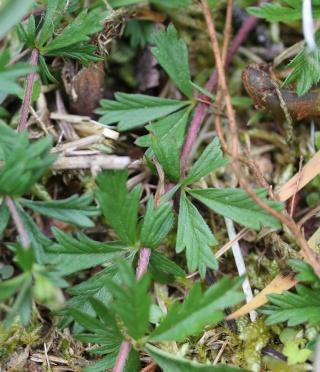 Potentilla erecta - potentille dressée, tormentille Potent11