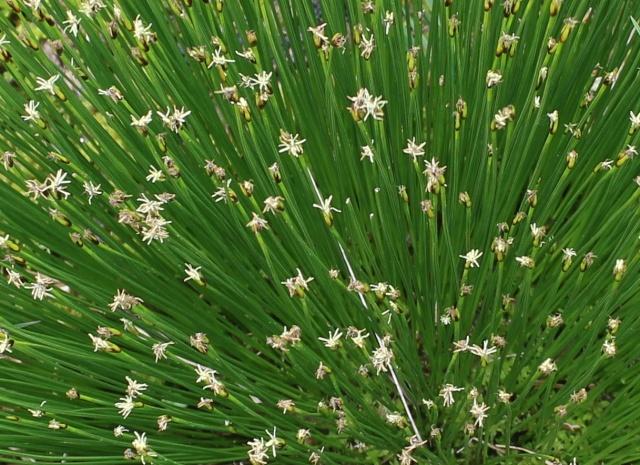 Trichophorum cespitosum (= Scirpus cespitosus) - scirpe cespiteux Scirpe10