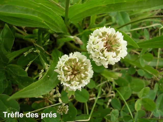 Trifolium pratense - trèfle des prés Trafle10
