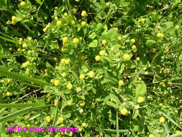 Trifolium campestre - trèfle des champs, trèfle jaune Trefle10